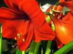 Red Lion Amaryllis