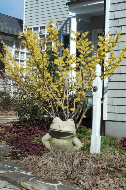 A Witch Hazel in full flower in winter