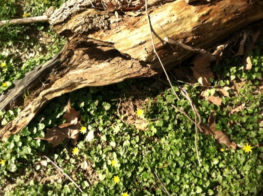 Ranunculus growing in the woods in springtime