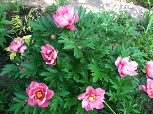 Itoh peony with a nice rounded shrub shape