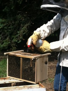 Spraying the bees with sugar water