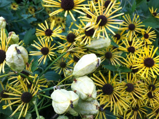 'Henry Eilers' Rudbeckia with pods for Blackberry Lily, which will open and display ebony black seeds