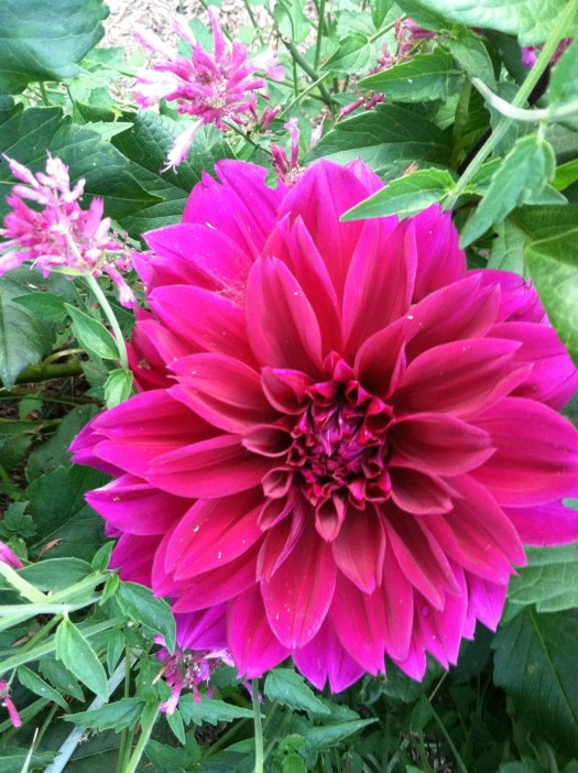 This purple dahlia is my favorite