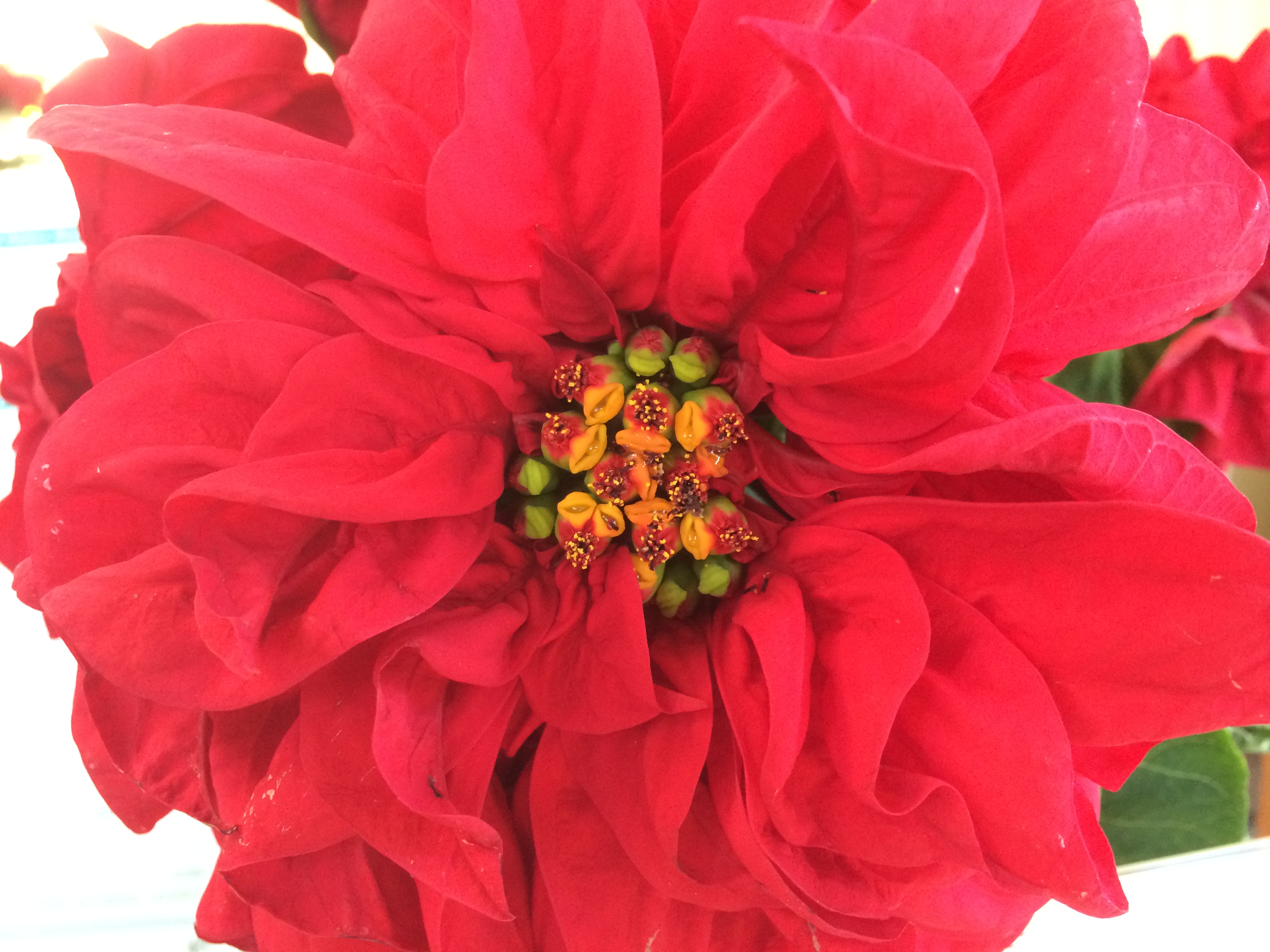 Poinsettia Valentine