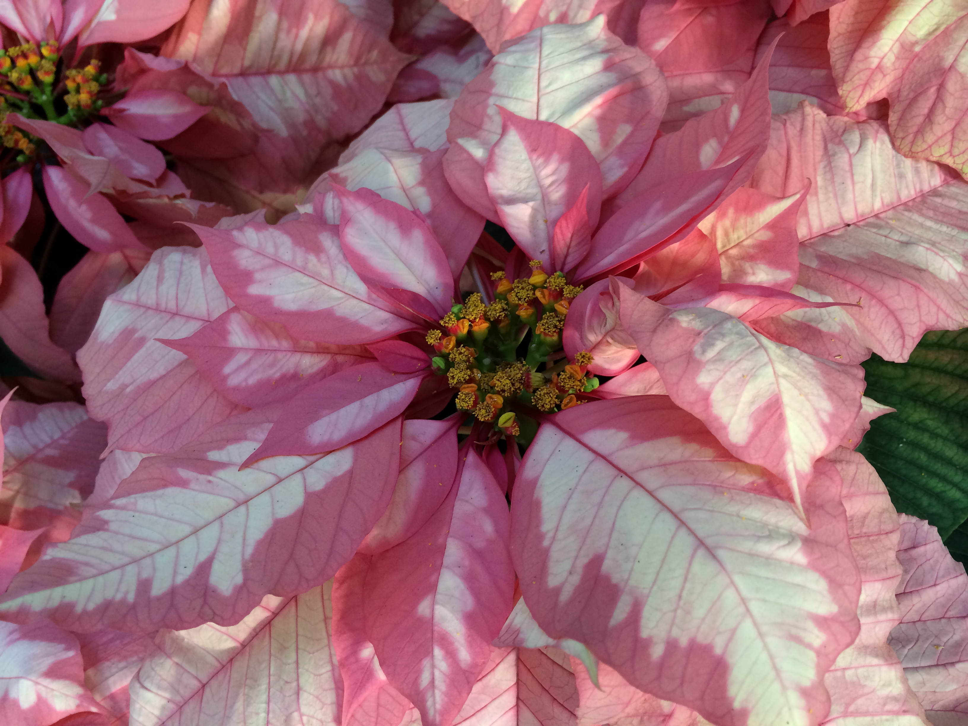 Poinsettia, Sparkling Punch