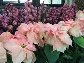 Visions of Grandeur Poinsettia with Orchids