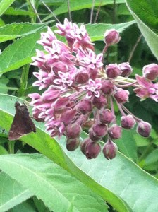 Plant Butterfly Weed or Milk Weed for Butterfly populations