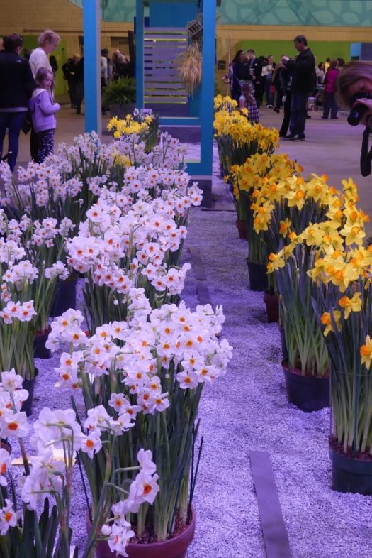 Forced Daffs at the Philadelphia Flower Show