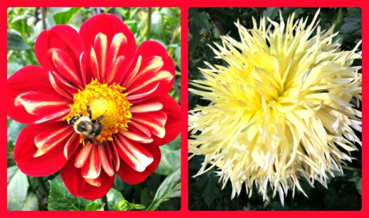 Single dahlia and double dahlia