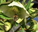 Hellebore flower with bee
