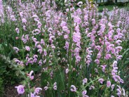 Salvia Eveline, a hardy salvia that blooms all summer long for me