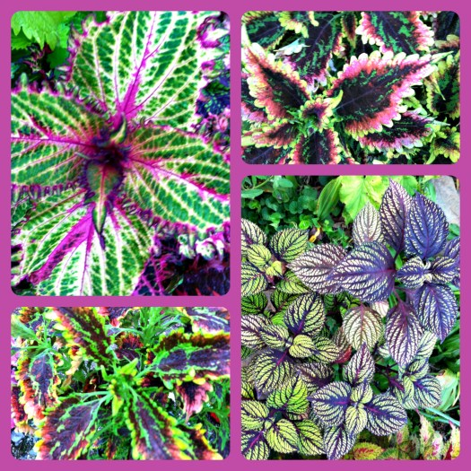 Varieties of coleus