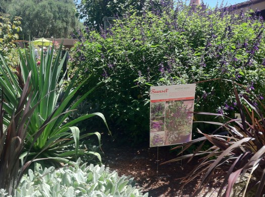 Amistad Salvia clump at the Sunset demo garden in San Francisco