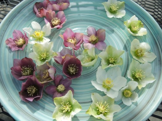 Floating Hellebore blossoms