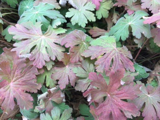 Geranium's autumn color