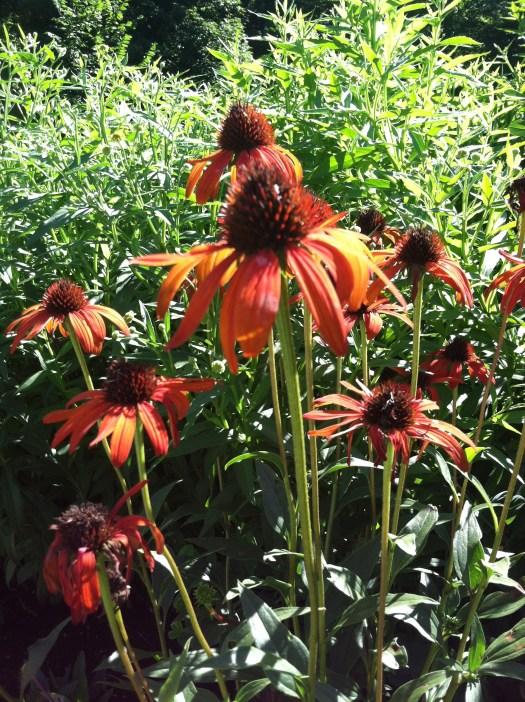 Orange Echinacea