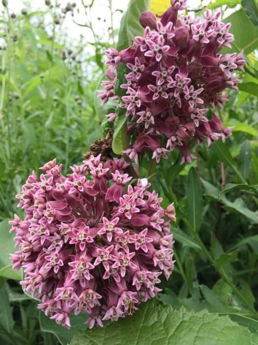 Cluster of flowers make up the common milkweed flower that sustains Monarchs