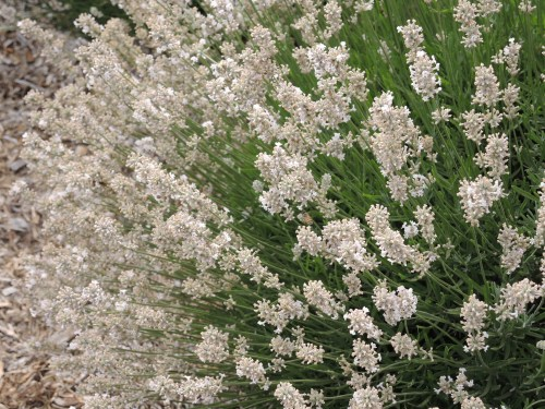 White lavender is beautiful but doesn't have the same intense scent as blue lavender