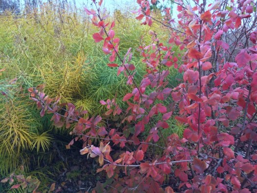 Smoke Tree and Amsonia