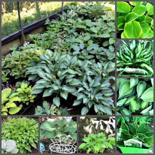 Selections of miniature Hostas at Happy Hollow