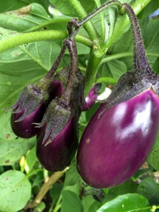 Little Prince eggplant from Renees Gardens grow great in containers