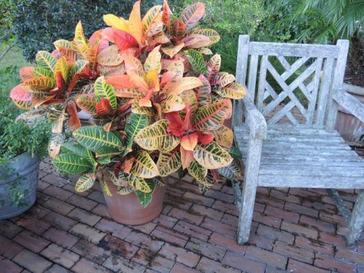 Portable and colorful, this single plant of Croton can be moved to accent anywhere in the garden