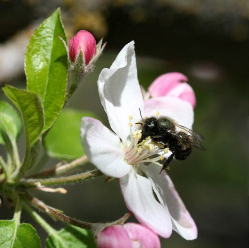 Mason bee on apple blossom, from Crown Bees