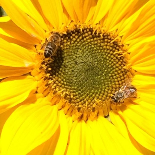 Sunflowers are bee magnets