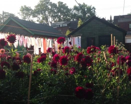 Dahlias planted in a yard