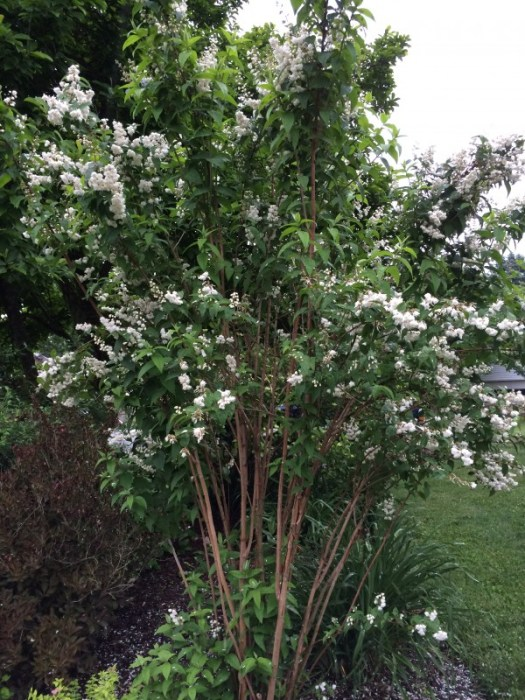 Double flowered Deutzia