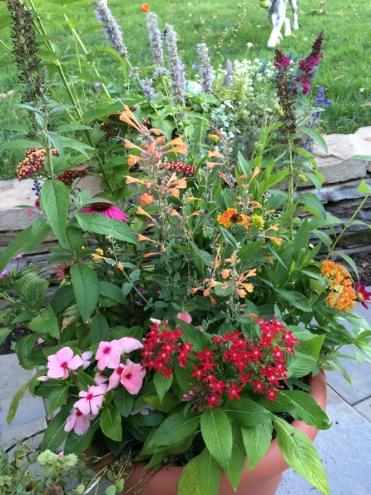Pollinator container with Pentas, Zinnia, Anise Hyssop, Vinca, butterfly Weed and Bush, Coneflower