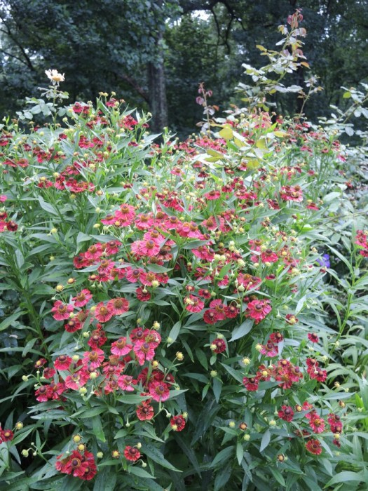 Helenium 'Red Jewel' will probably need staking of other support