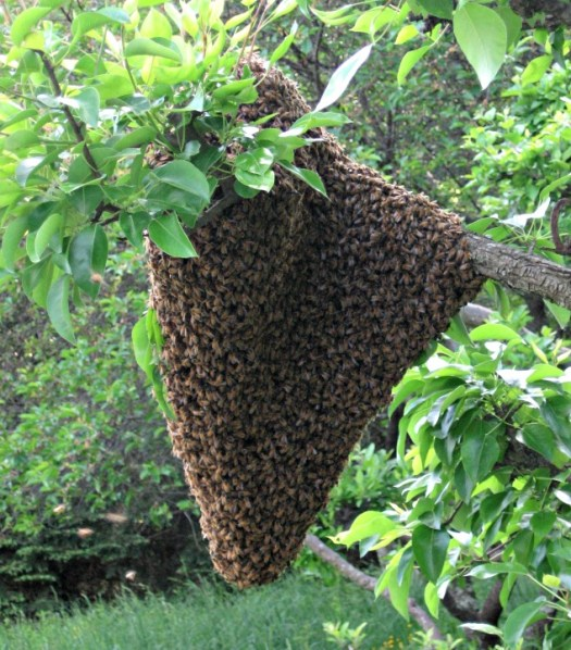 Bee Swarm in my yard