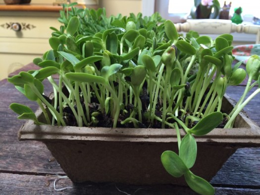 A small tub of sunflower microgreens ready to be cut and used