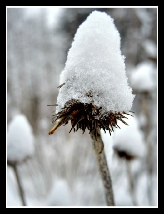 Winter snows protects and insulates plants from frost heaving. This picture was taken in January 2015.