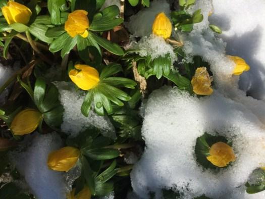 Winter Aconites will push up through snow