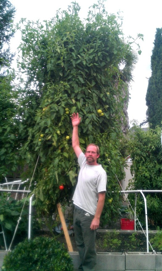 Brad Gates of Wild Boar Farms with a towering heirloom tomato plant
