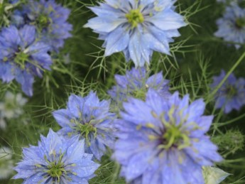 "Nigella or ""Love in the Mist"""