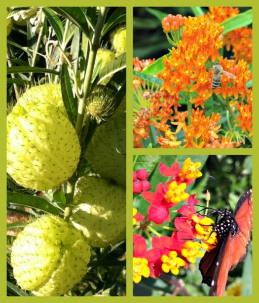 Different types of Milkweed;left is Gomphocarpus fruticosus, top Asclepias tuberosa, bottom Asclepas curassavica