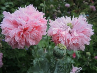 Pink fringed poppy