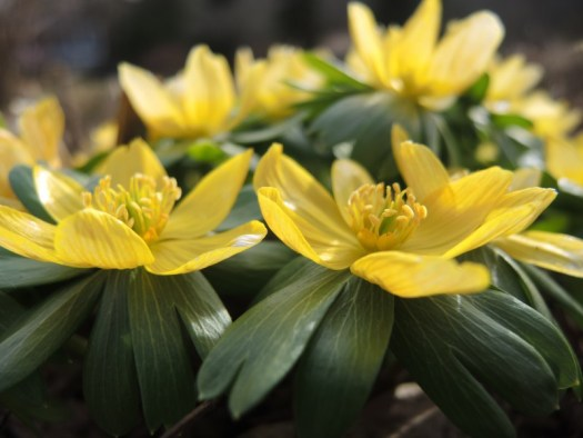 Winter Aconites have a pretty green ruff surrounding the flower