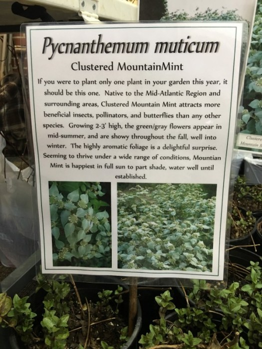 Mountain Mint label at Heartwood Nursery
