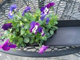 Start filling up the container with as many violas as will fit