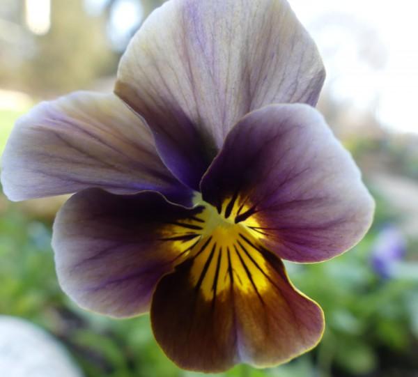 Violas come in brown shades