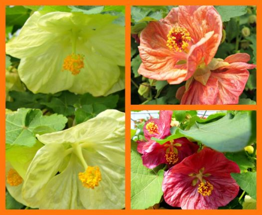 You rarely see Abutilons at nurseries; at Blooming Hill they have three colors!