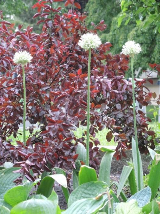 A black foliaged smoke tree sets off the white Alliums