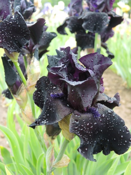 'Anvil of Darkness' Iris