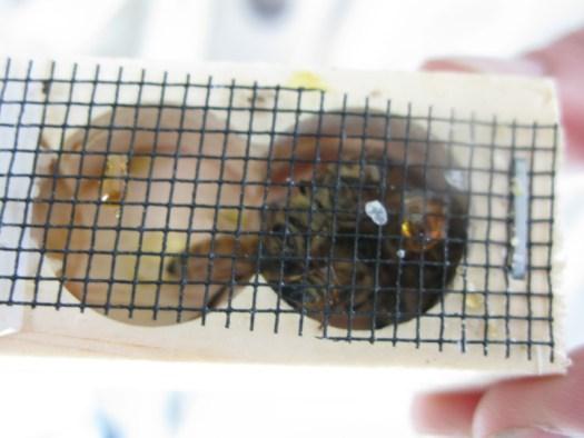 Queen bee in cage