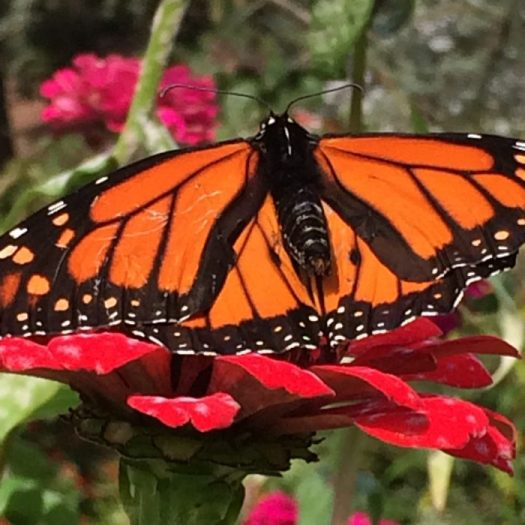 A male Monarch with black dots on his wing
