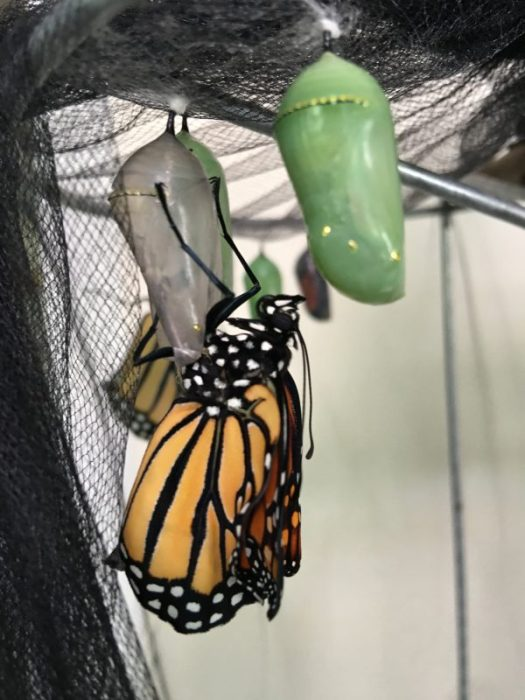 I missed this one happening. But it still was clinging to the chrysalis, so it just occurred minutes ago